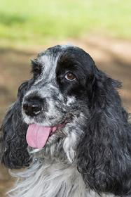 Cocker Spaniel Picture