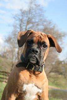 Boxer Do Picture